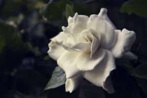 One White Rose Flower